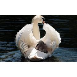 Картина - Лебеди